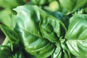 Blanch basil leaves to keep pesto green.