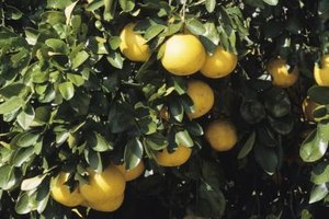 Grapefruit grows in clusters the way grapes grow on a vine.