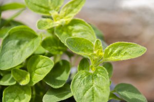 Can You Still Use Basil That Goes a Little Brown?