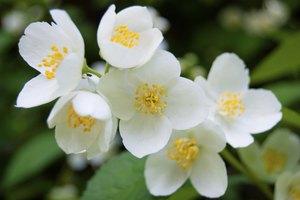 What Is Jasmine Spice?