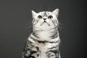 Abscesos en la mejilla de un gato
