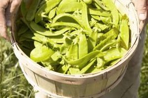 Many people grow snow peas in their home gardens.
