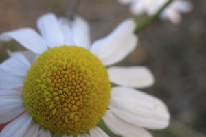 How to Make Chamomile Oil