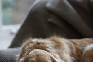 Enzima ggt en perros