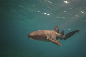 Nurse sharks are more often hunted as pests than for their meat.