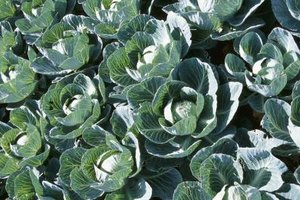 Like the mustard plant, cabbage belongs to the Brassicaceae family and is a cruciferous plant.
