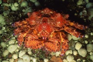 King crab legs can be 3 to 4 feet in length.
