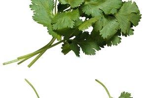 Cómo secar cilantro en casa