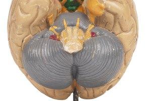 ¿Qué partes del cerebro son afectadas por el alcohol?