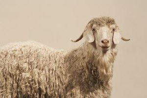 Angora goats produce the wool that the makes beautiful fabric known as mohair.