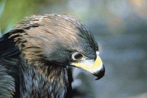 Eagles & Native American Symbolism