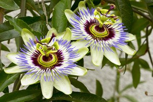 The Risks of Smoking Passion Flower