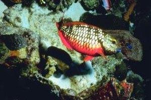 Tilefish are large, deep-sea fish