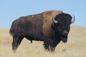 ¿La carne de búfalo es saludable?