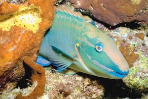 Parrotfish have large scales that are easily removed for cooking.
