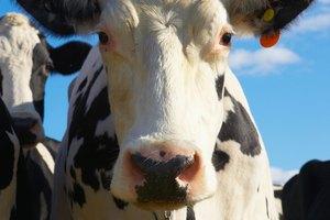Las ventajas de comer lengua de vaca