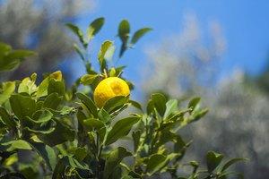 Formas de utilizar las hojas de limón
