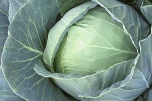 Cabbage is a sweet and long-lasting vegetable, but can be malodorous when cooked.