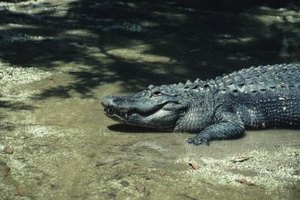Farming alligators for their meat is a growing industry.