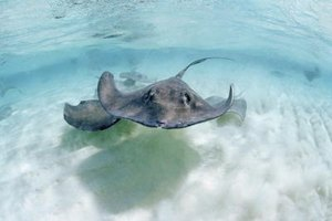 A stingray with a two-foot wingspan will provide the best-tasting meat.