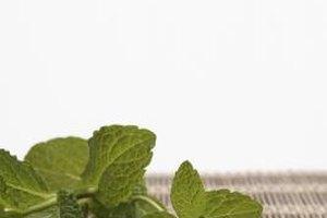 Harvest mint leaves before the plants bloom.