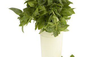 How to Care for Hydroponic Basil From the Grocery Store