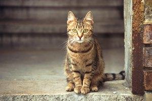 Debilidad en las patas traseras de los gatos