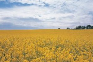 Canola's bright yellow flowers cover much of the Canadian prairies during summer.