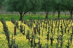 Los beneficios del aceite de semilla de uva en la piel y las pestañas
