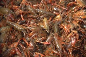 It's easy to cook crawfish by boiling, steaming, baking or grilling.