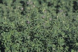 ¿Cuáles son los beneficios del té de alfalfa?