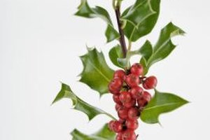 Think twice before using holly as a garnish.