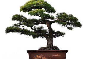 What Is the Meaning of a Bonsai Tree?