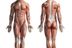 Los músculos más grandes del cuerpo humano