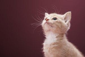 Remedio casero para los ácaros del oído en los gatos