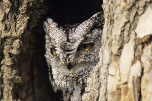 Cherokee Beliefs About Owls