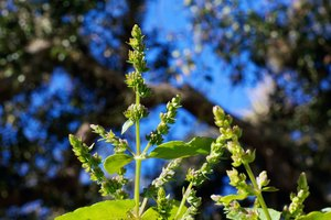 The Dangers of Patchouli Oil
