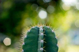 How to Make Cactus Wine