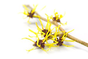 Benefits of Witch Hazel for Acne