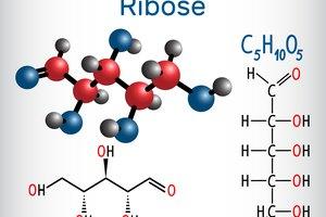 ¿Qué es la ribosa?