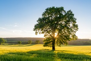 What Does the Sycamore Tree Symbolize?