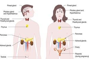 Cómo cuidar del sistema endocrino