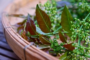 Medicinal Uses of the Neem Plant