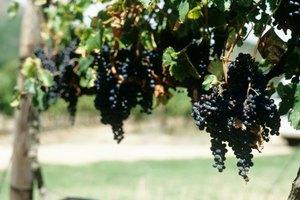 Beneficios para la salud de las hojas de parra