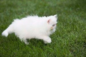 Curas con aceite de oliva para los gatos