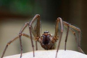 ¿Qué tipo de sistema circulatorio tienen las arañas?
