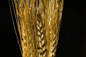 ¿Cuáles son los beneficios del germen de trigo tostado?