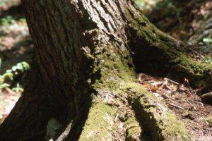 Types of Tree Roots You Can Eat
