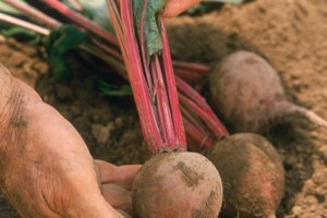 The Edible Parts of Beets