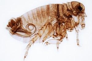 ¿Pueden las pulgas vivir en humanos?